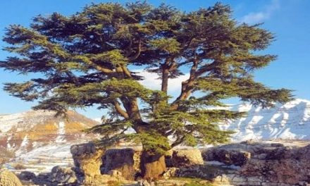 Salvare i Cedri del Libano dalla siccità